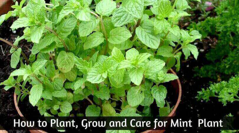 The Only Mint Plant Resources You Will Ever Need