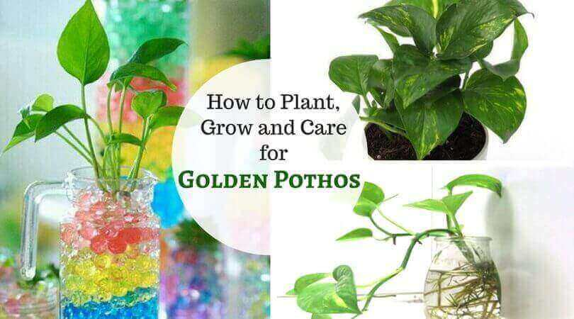 Golden Pothos Care How To Plant Grow And Care For Money