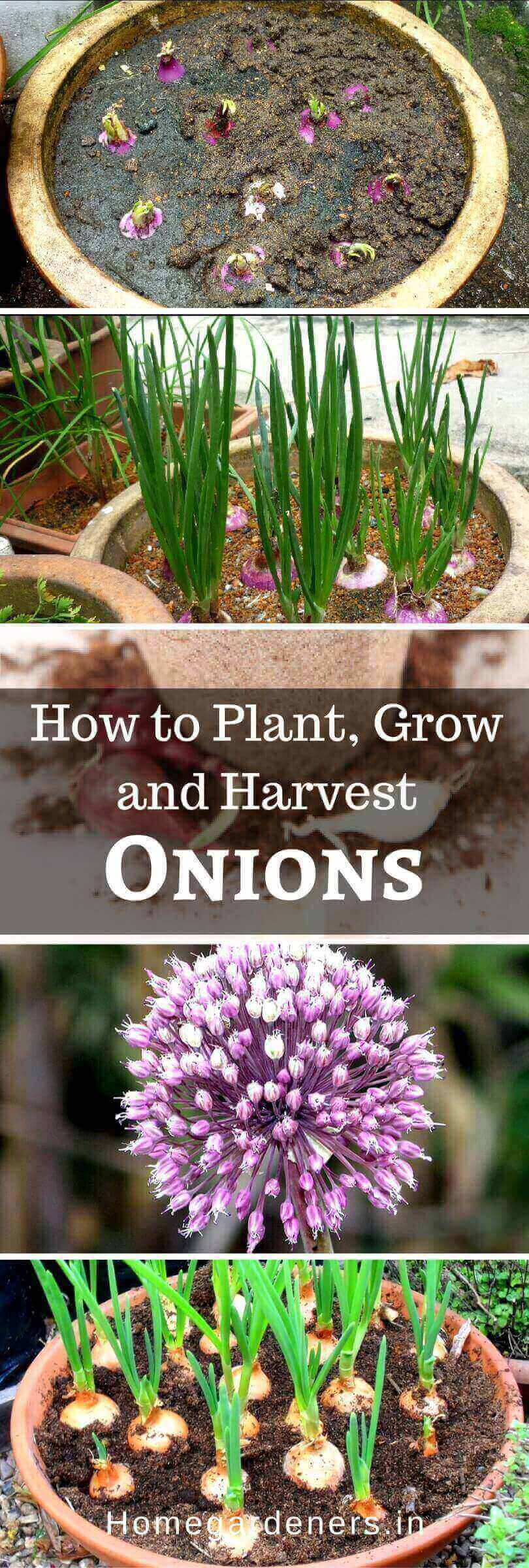 Growing and Caring of Onions - How to Harvest Onions