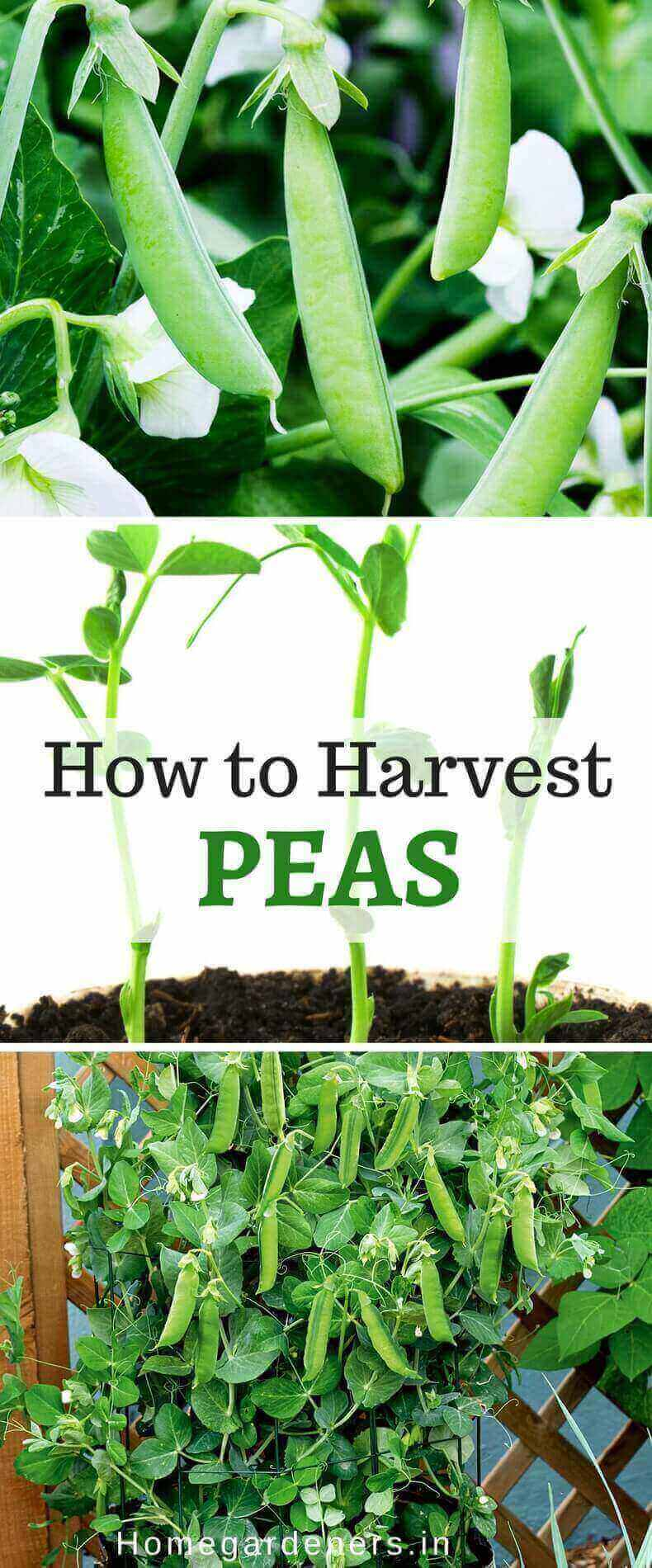 Pisum Sativum - Growing Peas and How to Harvest Peas Easily