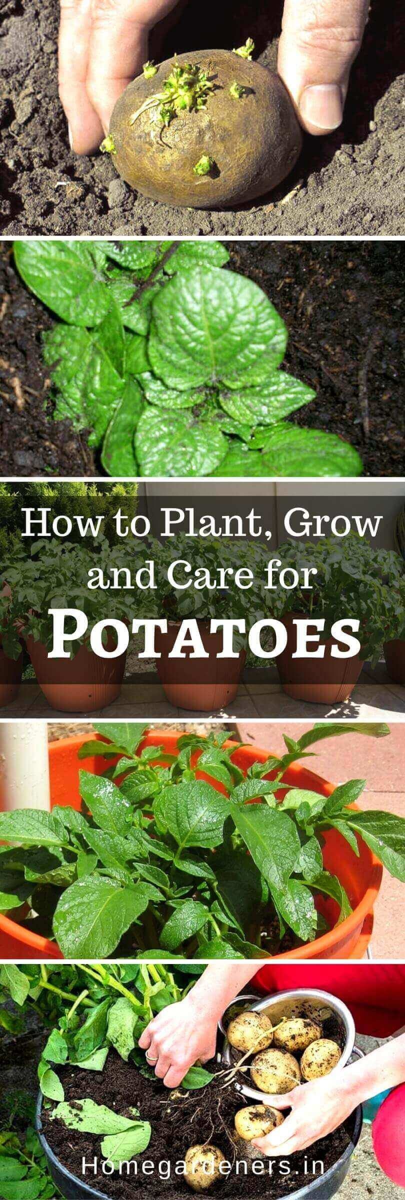 How to Plant, Grow and Care for Potatoes Easily