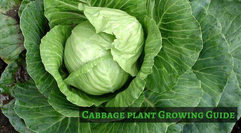 How to Plant, Grow, Harvest and Benefits of the Cabbage
