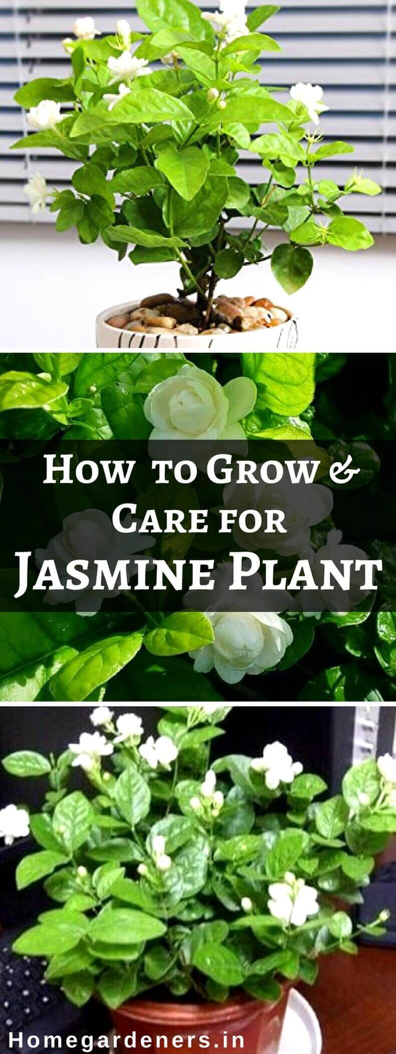How To Grow And Care For Jasmine Plant Home Gardeners