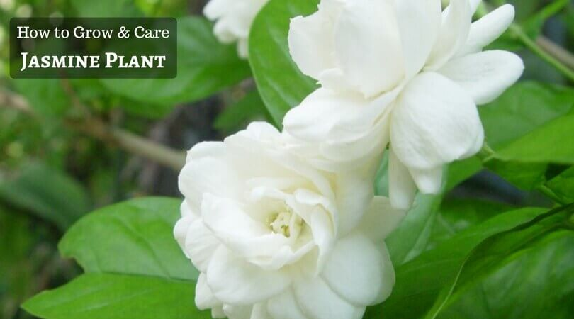 How to Grow and Care for Jasmine Plant?